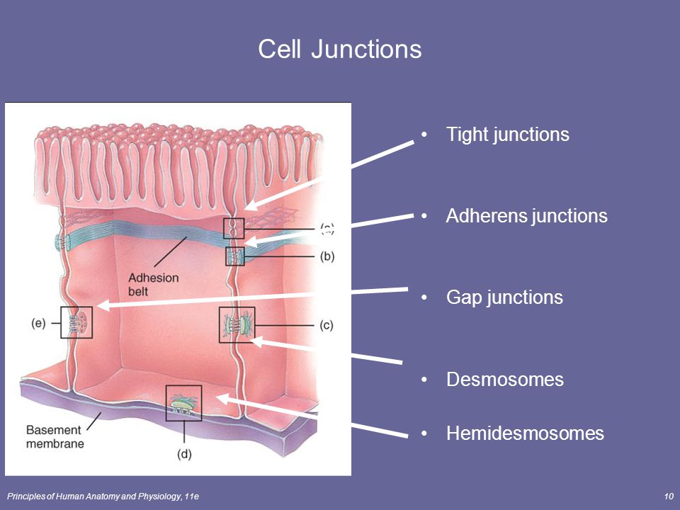 Cell Junctions Tight junctions Adherens junctions Gap junctions