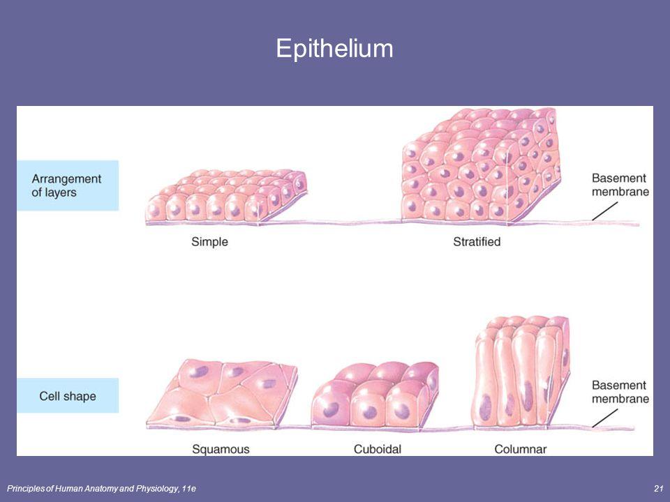 Epithelium Principles of Human Anatomy and Physiology, 11e