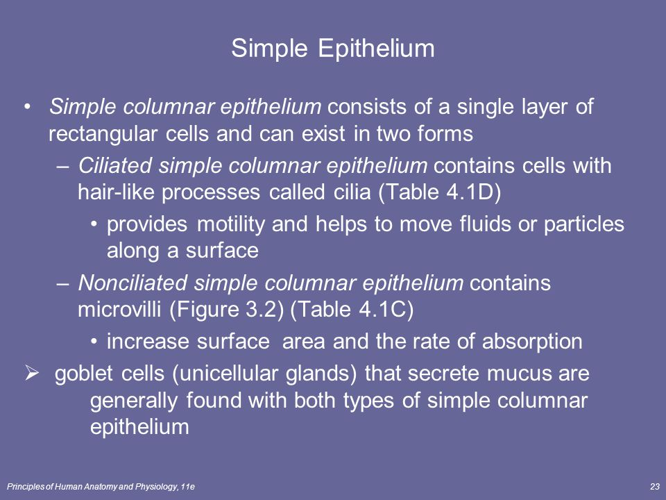 Simple Epithelium Simple columnar epithelium consists of a single layer of rectangular cells and can exist in two forms.