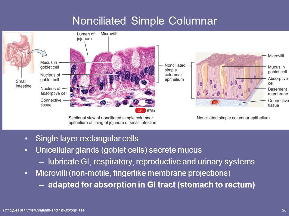 Nonciliated Simple Columnar