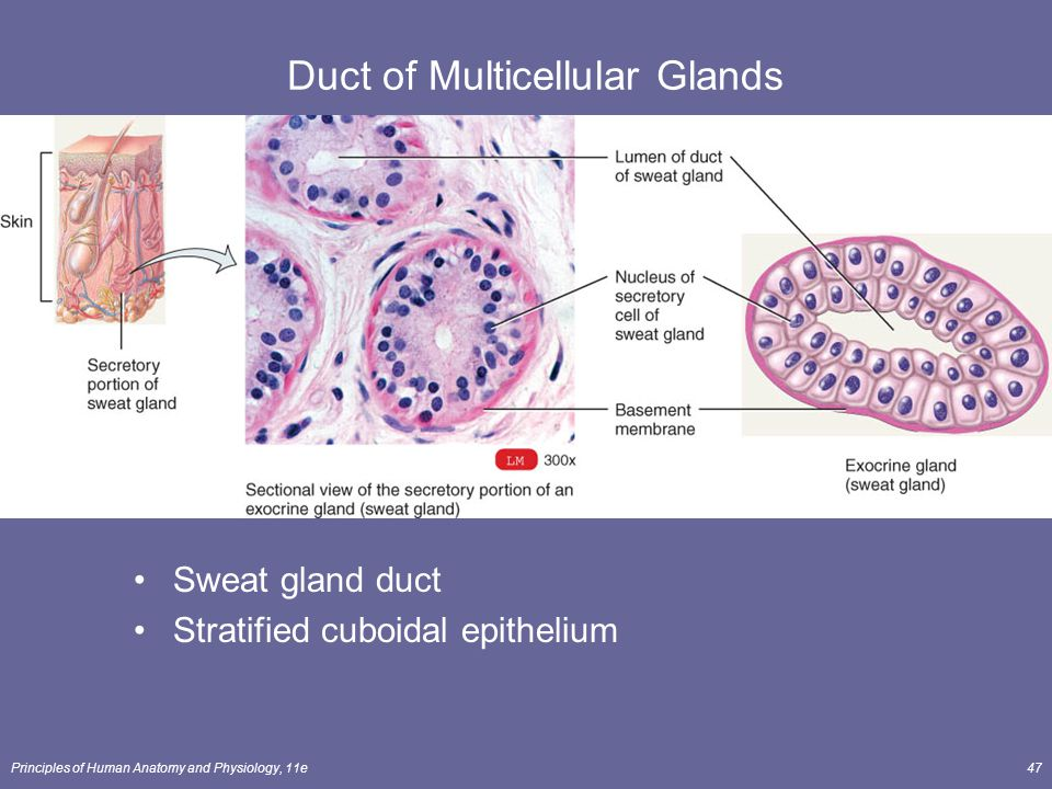 Duct of Multicellular Glands