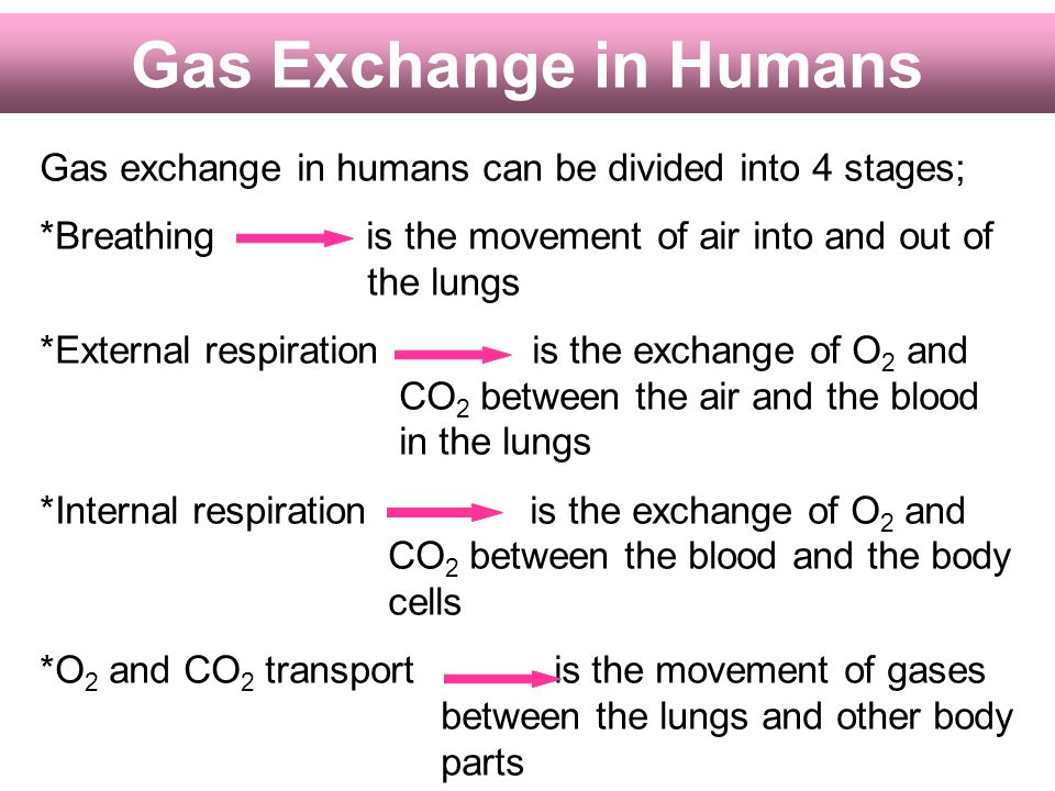 Gas Exchange in Humans Gas exchange in humans can be divided into 4 stages;