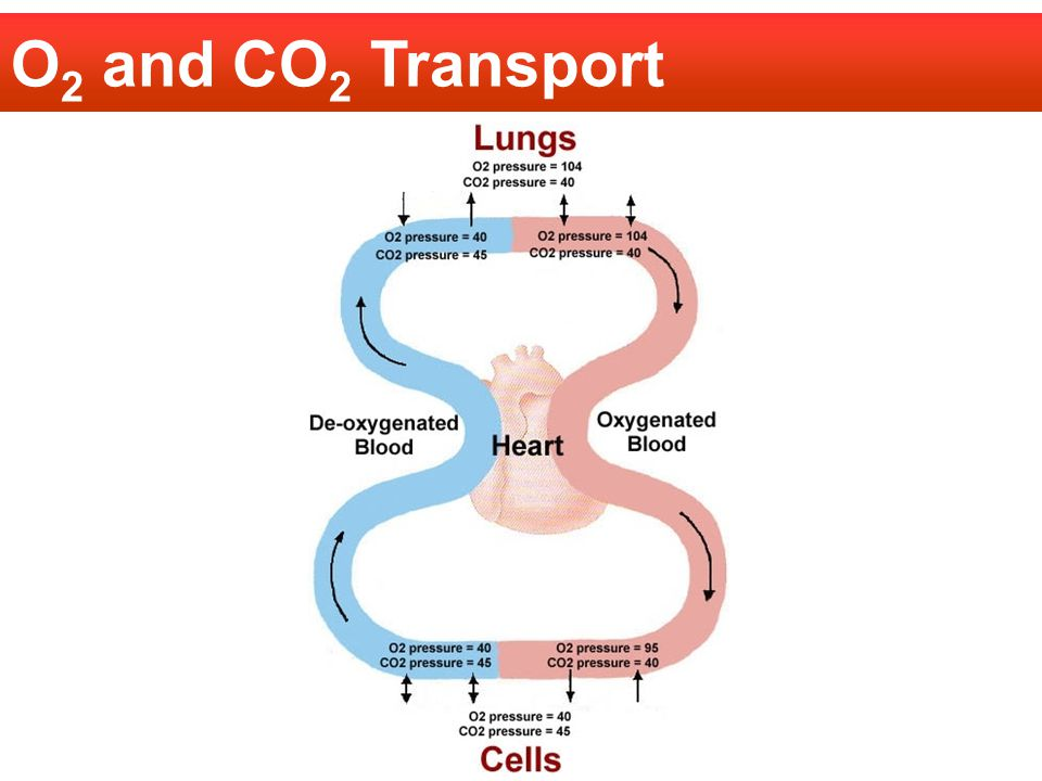 O2 and CO2 Transport