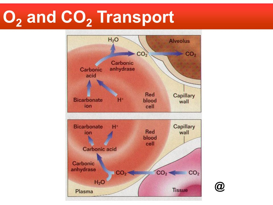 O2 and CO2 Transport @