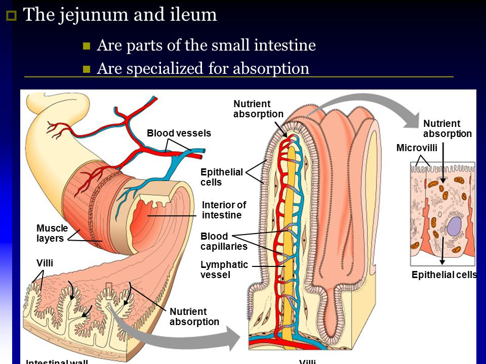 The jejunum and ileum Are parts of the small intestine