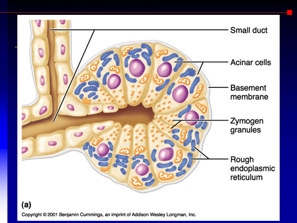 Structure of acinar tissue of the pancreas