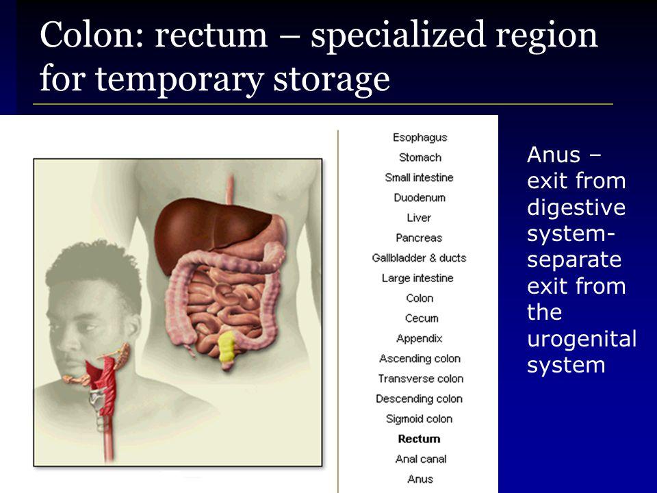 Colon: rectum – specialized region for temporary storage