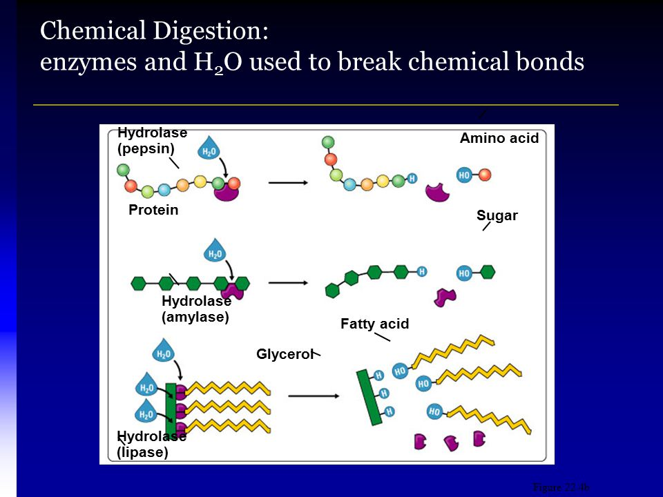 Chemical Digestion: enzymes and H2O used to break chemical bonds