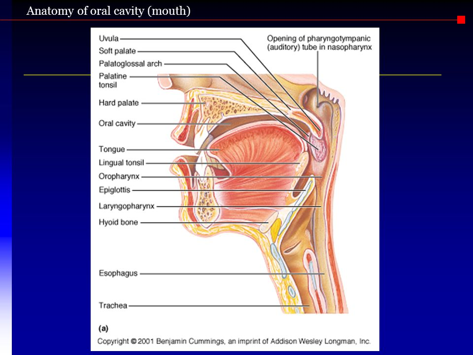 Anatomy of oral cavity (mouth)