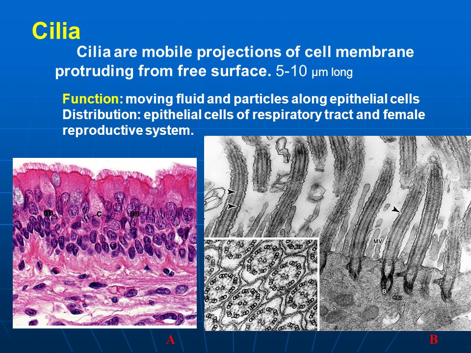 Cilia Cilia are mobile projections of cell membrane protruding from free surface. 5-10 μm long.