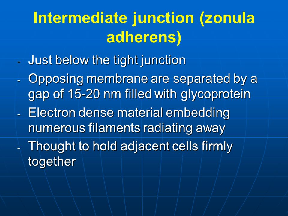 Intermediate junction (zonula adherens)