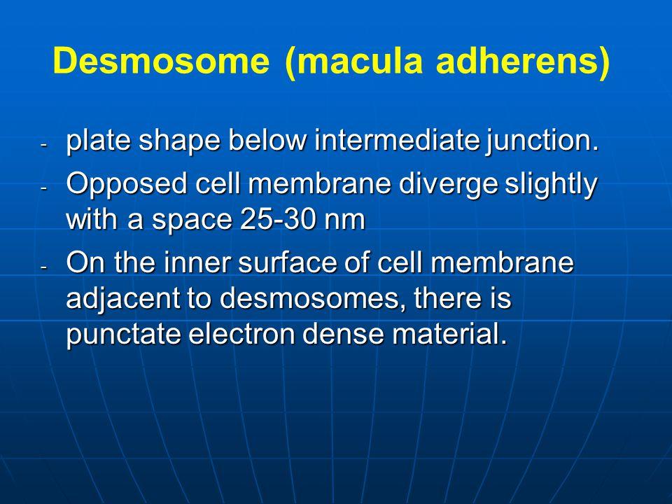 Desmosome (macula adherens)