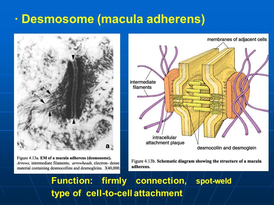 · Desmosome (macula adherens)