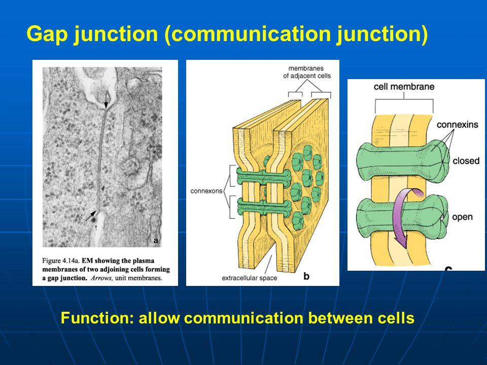Gap junction (communication junction)