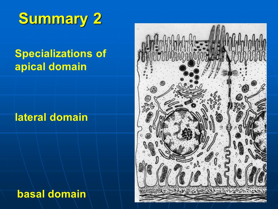 Summary 2 Specializations of apical domain lateral domain basal domain
