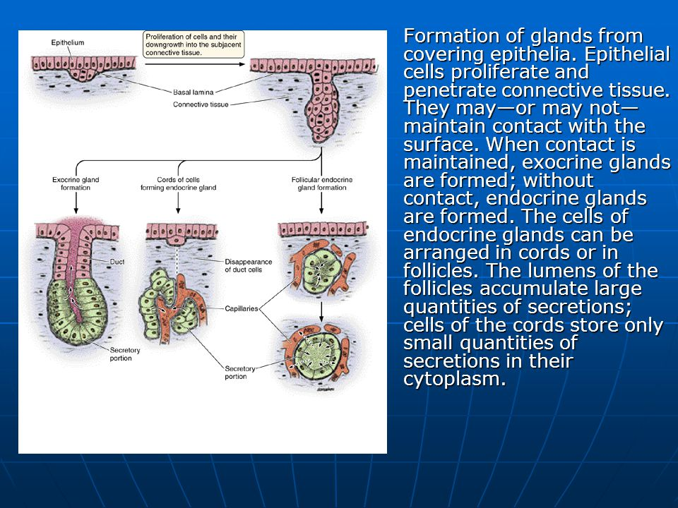 Formation of glands from covering epithelia