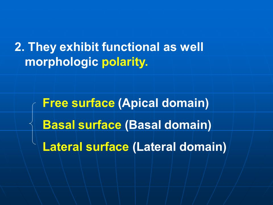 2. They exhibit functional as well morphologic polarity.