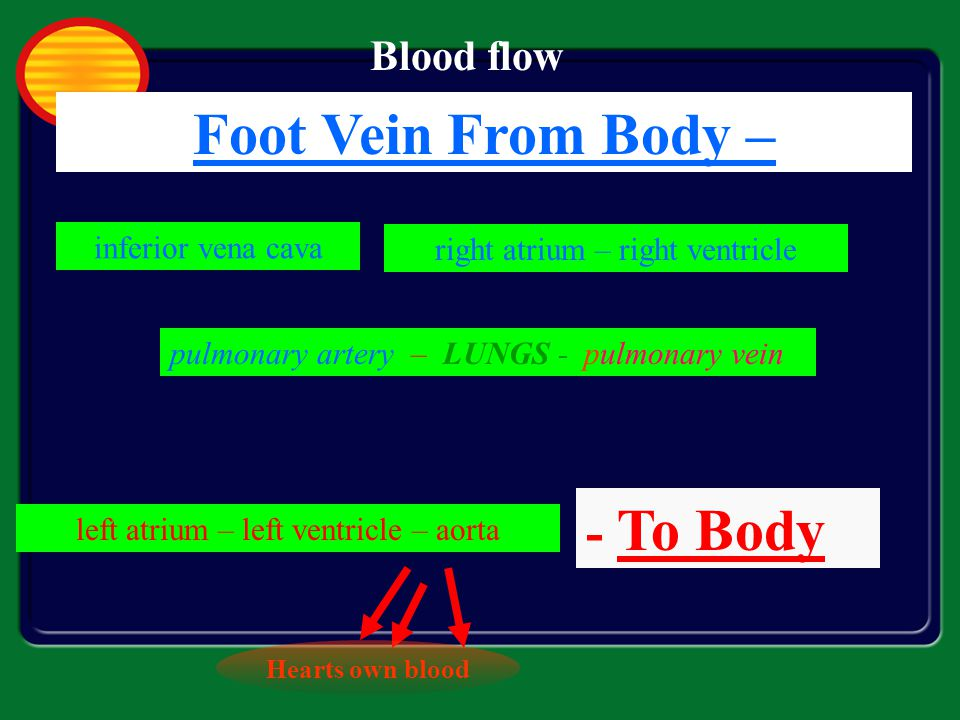 Foot Vein From Body – - To Body Blood flow inferior vena cava