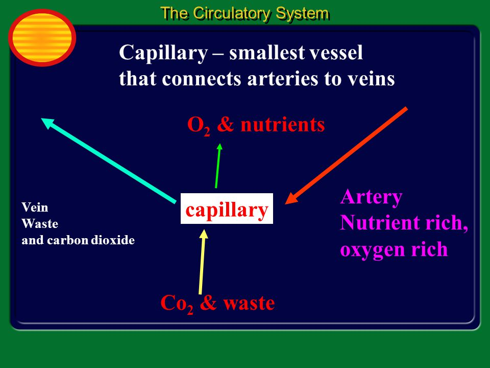 Capillary – smallest vessel that connects arteries to veins