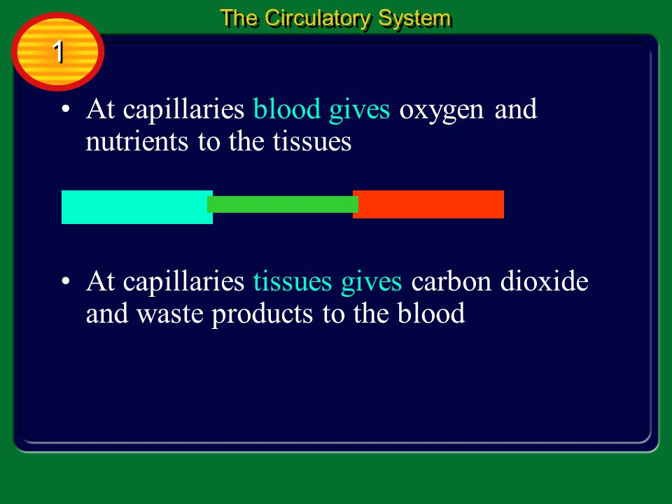 At capillaries blood gives oxygen and nutrients to the tissues