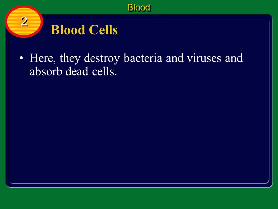 Blood 2 Blood Cells Here, they destroy bacteria and viruses and absorb dead cells.