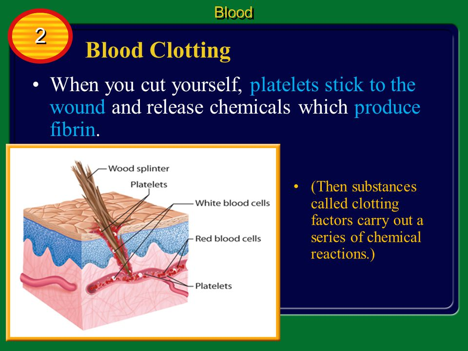 Blood 2. Blood Clotting. When you cut yourself, platelets stick to the wound and release chemicals which produce fibrin.