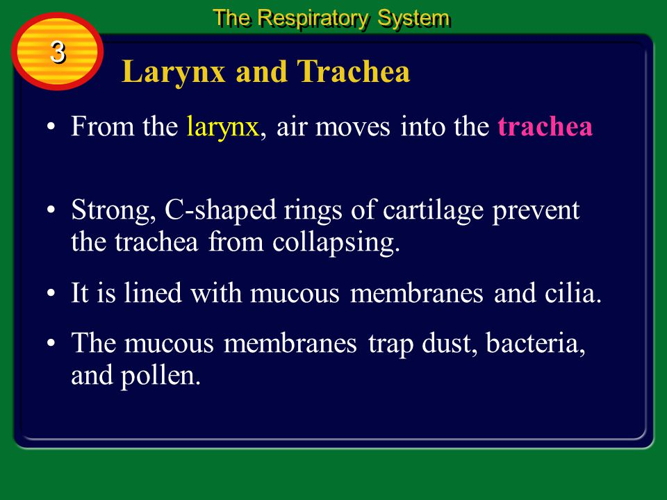 Larynx and Trachea 3 From the larynx, air moves into the trachea