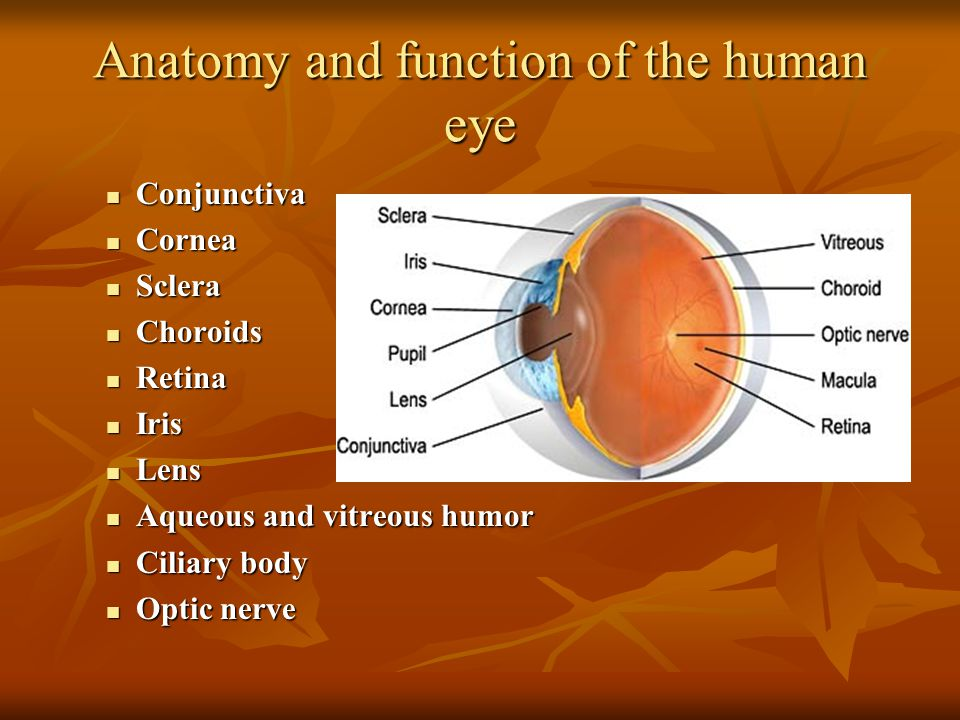 Anatomy and function of the human eye
