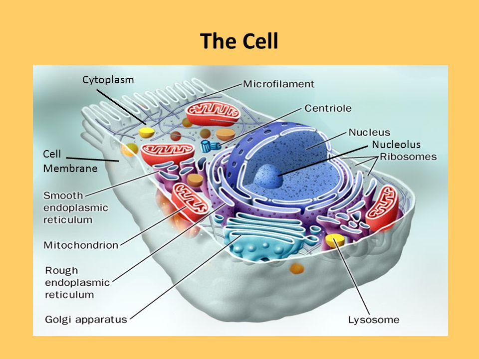 The Cell Cytoplasm Nucleolus Cell Membrane