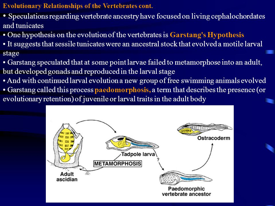 Evolutionary Relationships of the Vertebrates cont.