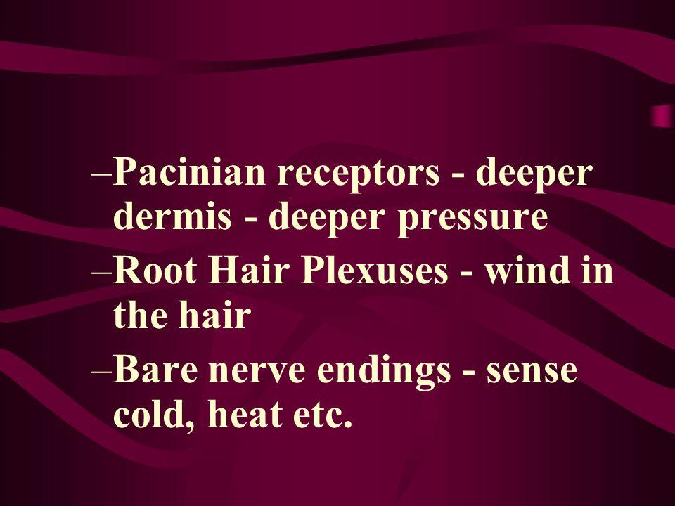 Pacinian receptors - deeper dermis - deeper pressure