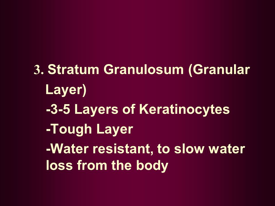 3. Stratum Granulosum (Granular Layer) -3-5 Layers of Keratinocytes