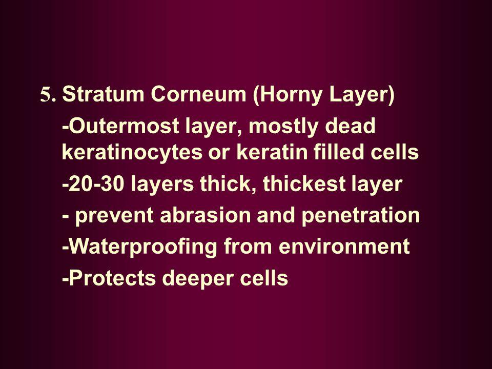 5. Stratum Corneum (Horny Layer)