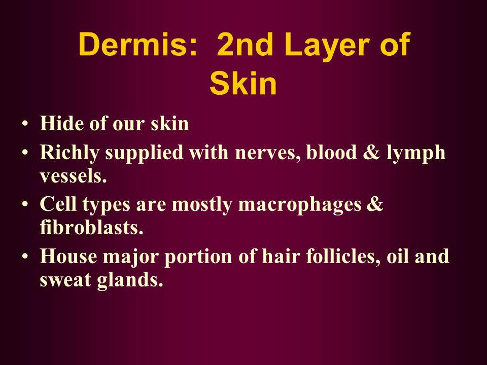 Dermis: 2nd Layer of Skin