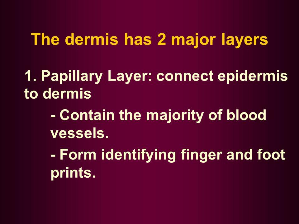 The dermis has 2 major layers