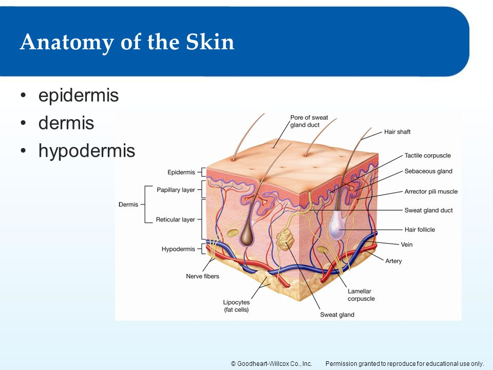 Anatomy of the Skin epidermis dermis hypodermis