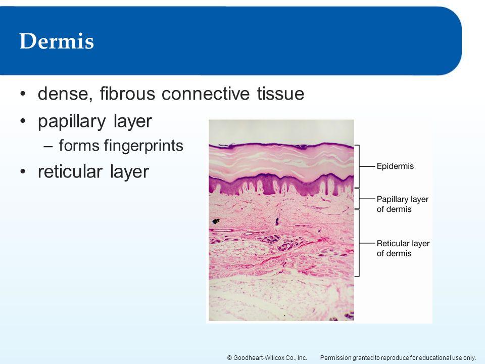 Dermis dense, fibrous connective tissue papillary layer