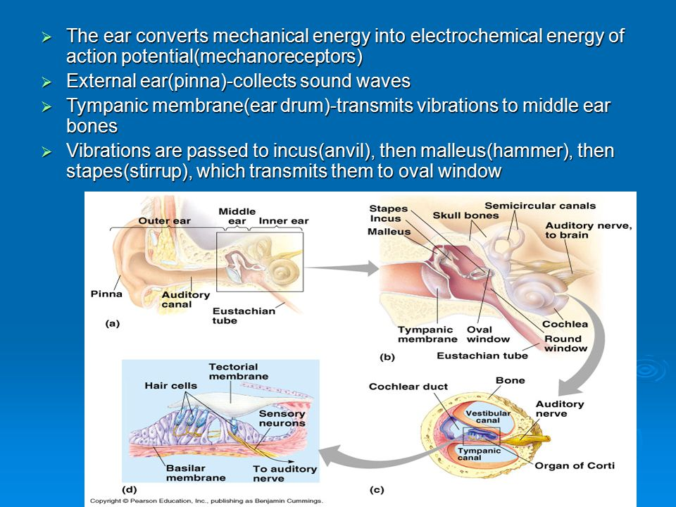 The ear converts mechanical energy into electrochemical energy of action potential(mechanoreceptors)