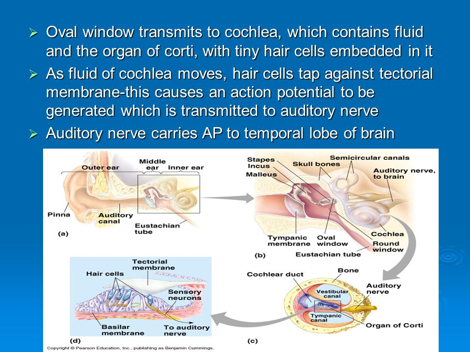Oval window transmits to cochlea, which contains fluid and the organ of corti, with tiny hair cells embedded in it