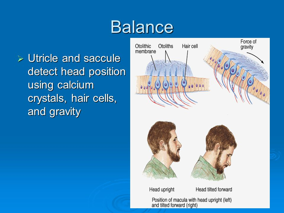 Balance Utricle and saccule detect head position using calcium crystals, hair cells, and gravity