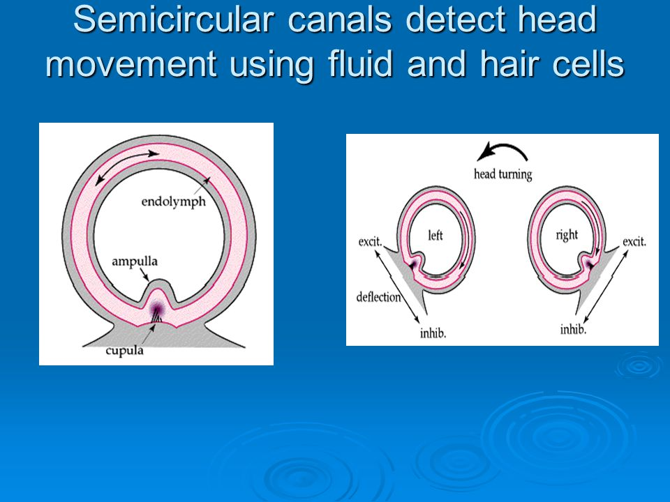 Semicircular canals detect head movement using fluid and hair cells