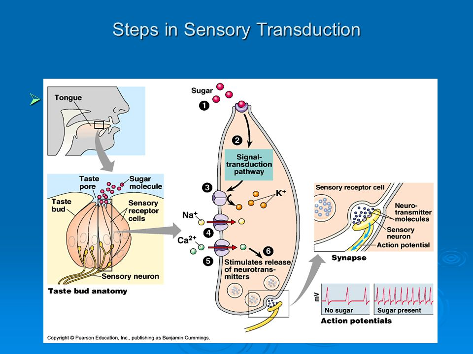 Steps in Sensory Transduction