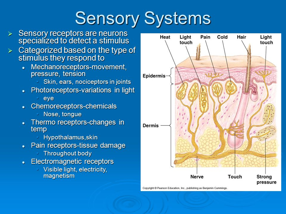 Sensory Systems Sensory receptors are neurons specialized to detect a stimulus. Categorized based on the type of stimulus they respond to.