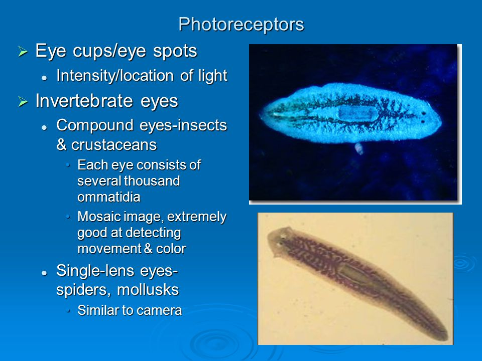 Photoreceptors Eye cups/eye spots Invertebrate eyes