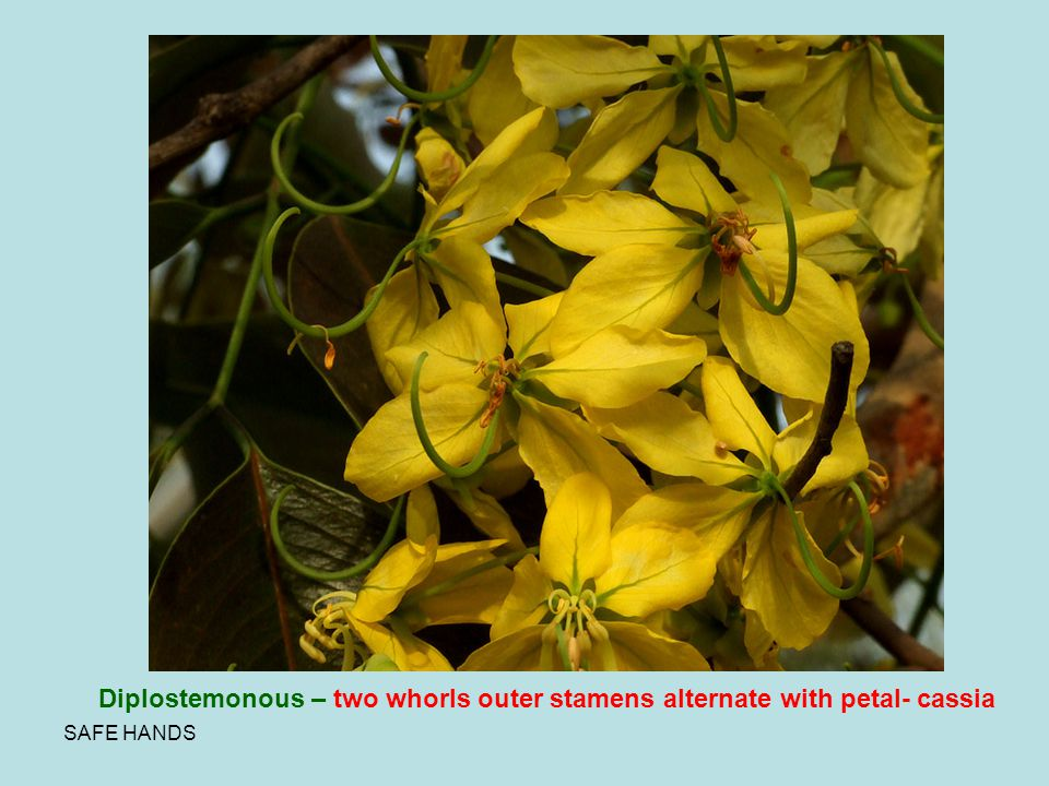 Diplostemonous – two whorls outer stamens alternate with petal- cassia