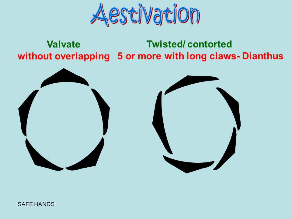 Aestivation Valvate without overlapping Twisted/ contorted