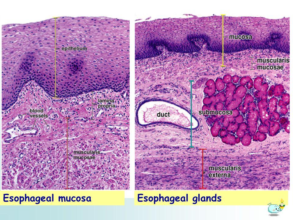 Esophageal mucosa Esophageal glands