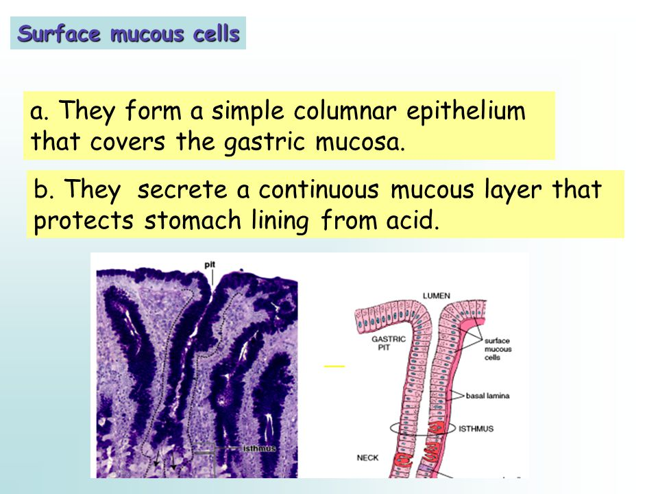 Surface mucous cells a. They form a simple columnar epithelium that covers the gastric mucosa.
