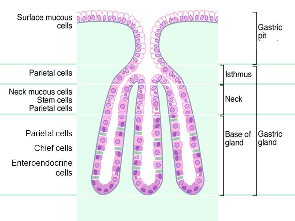 Parietal cells Chief cells Enteroendocrine cells