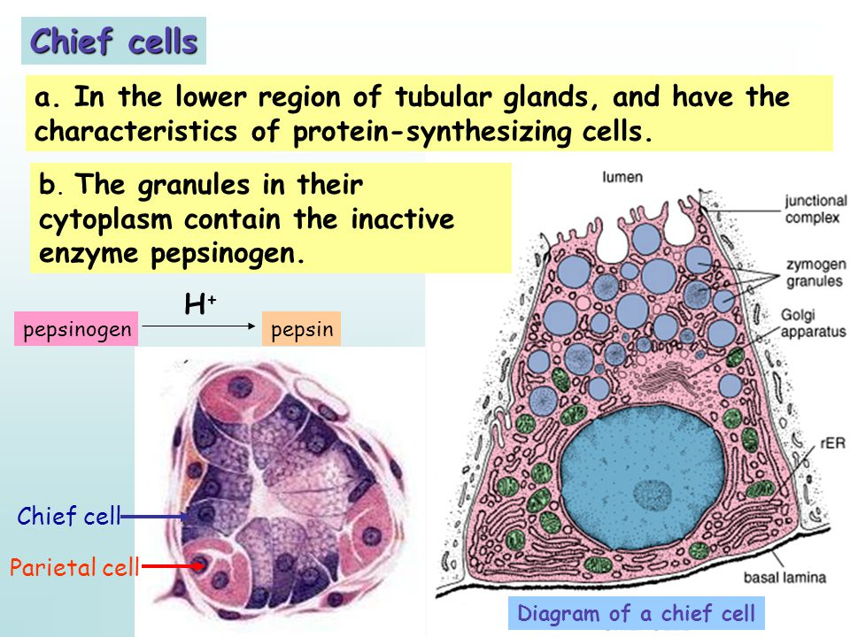 Chief cells a. In the lower region of tubular glands, and have the characteristics of protein-synthesizing cells.